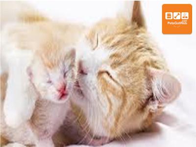 بيتس جوت ويب تقدم لكم مدة حمل القطط الشيرازي Petsgotweb Cats Animals