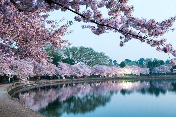Washington Dc Cherry Blossoms A Photo Timeline Landscape Photography Trees Beautiful Landscape Photography Spring Landscape Photography