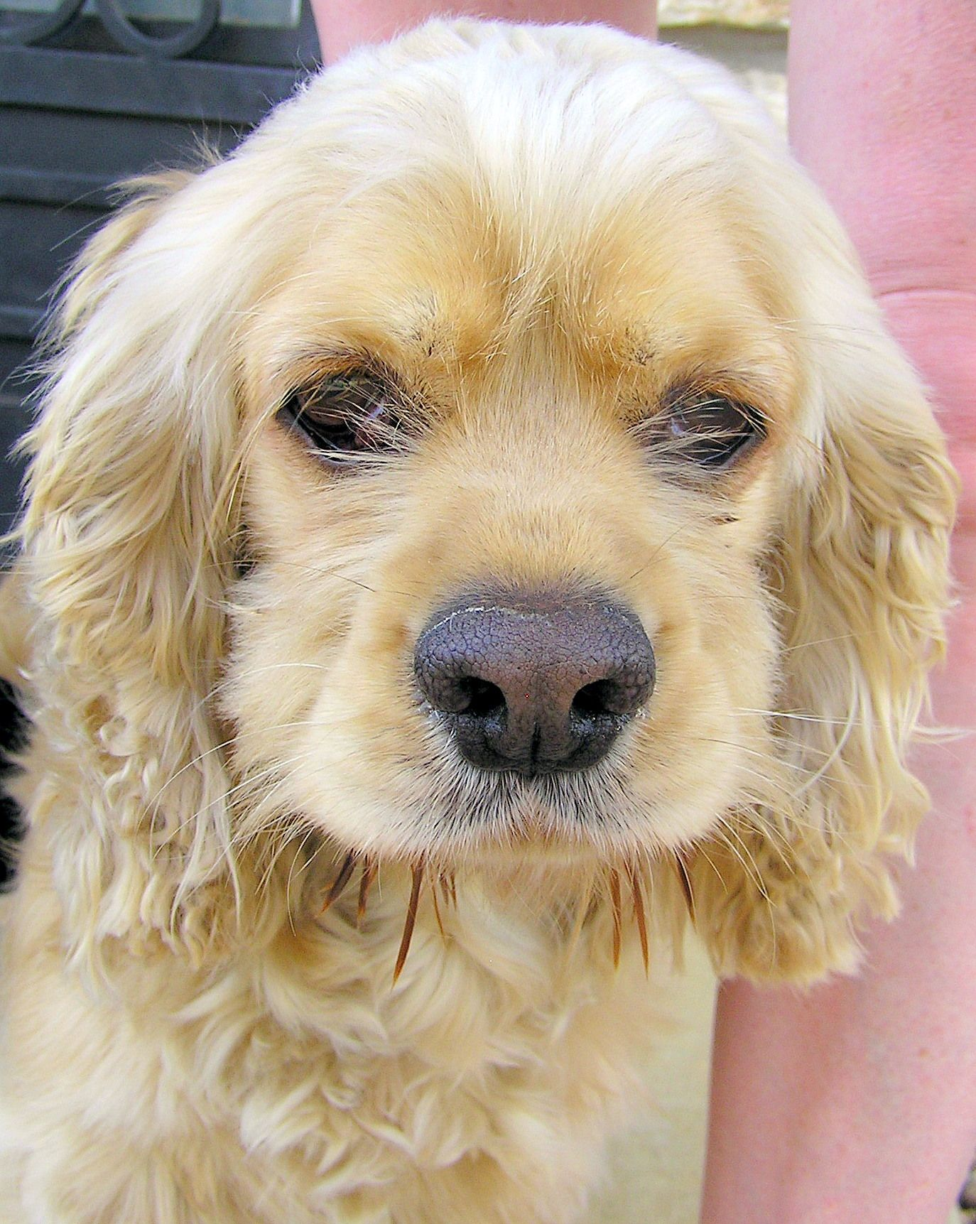 Jamie An Adoptable Cocker Spaniel In Austin Tx Www