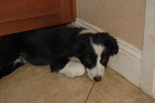 Litter Of 4 Border Collie Puppies For Sale In Orlando Fl Adn
