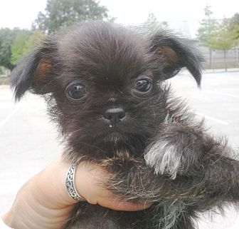 Shih Tzu Chihuahua Mix Puppy For Adoption In Orlando Florida