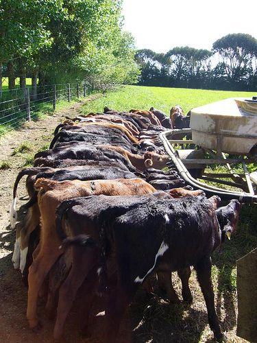 Baby Calf Feeding At Gore New Zealand Dairy Farm Nieuw Zeeland