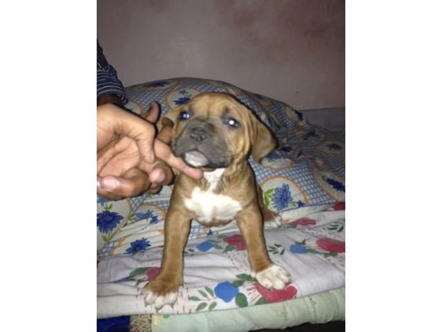 Imported Bloodline Pitbull Terrier Puppy Ready 4 Sale Pitbull Terrier Pitbull Puppies For Sale Pitbull Terrier Puppies