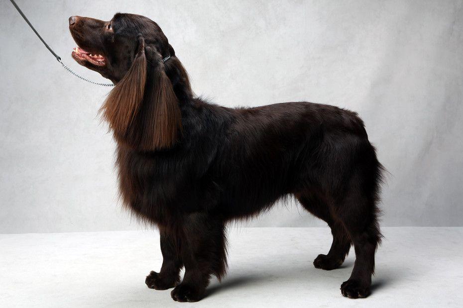 Westminster S Best Of Breed Westminster Dog Show Dog Show Breeds