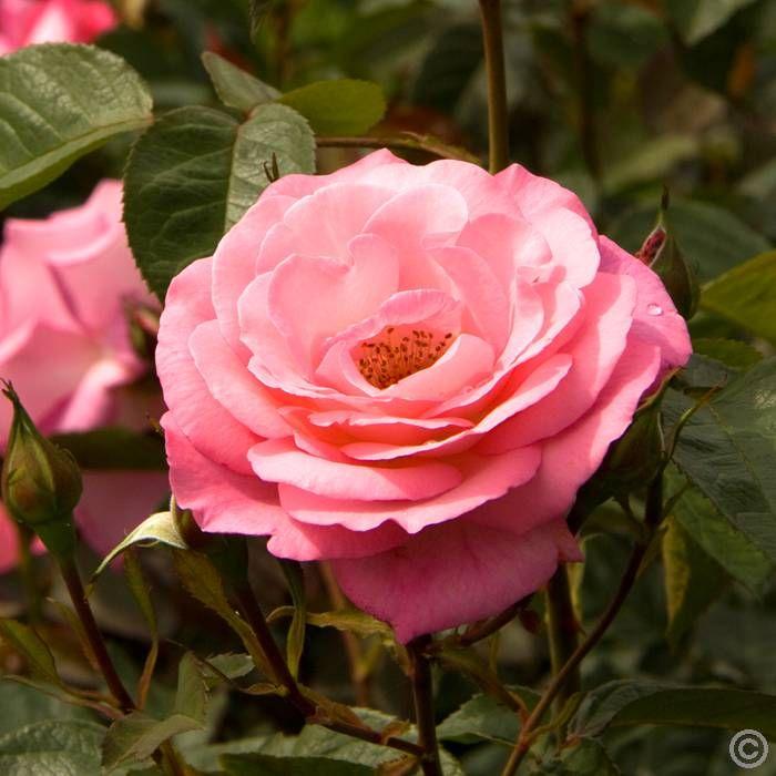 róża wielkokwiatowa odmiany - Pesquisa Google