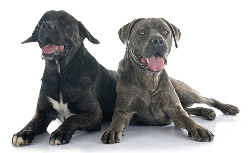 45 Pic Of Cane Corso Dog In 2020