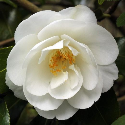 Camellia x williamsii china clay camellia china clay china award winning camellia x williamsii china clay features semi double flowers 4 in wide cm with 2 rows of sparkling white petals occasionally flushed mightylinksfo