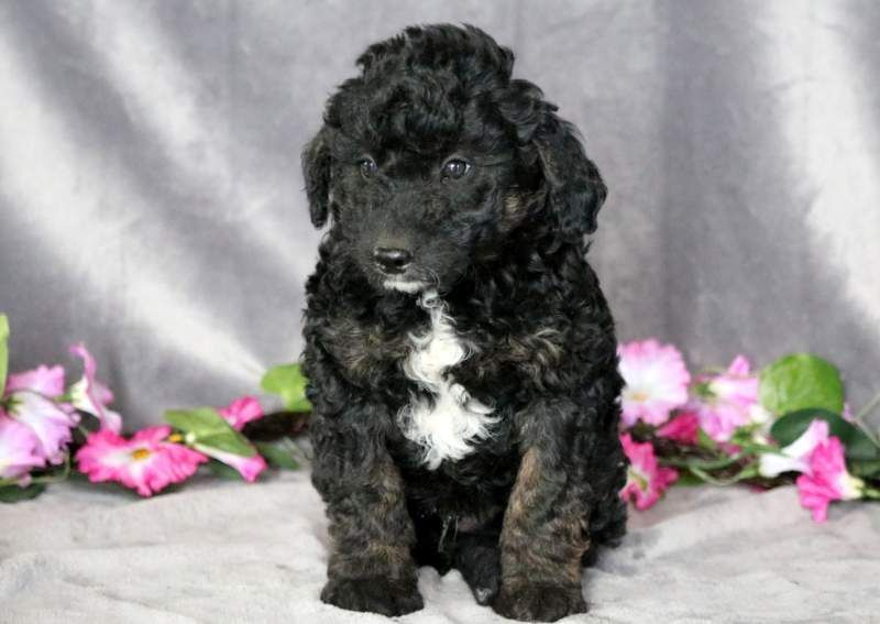 Bordoodle Puppy For Sale In Mount Joy Pa Adn 69355 On Puppyfinder Com Gender Male Age 8 Weeks Old Bordoodle Puppies For Sale Mount Joy