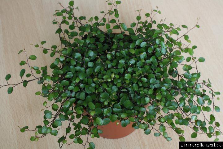 muehlenbeckia complexa muehlenbeckia complexa Angel Vine Topiary Zimmerpflanzen  ~ 01114943_Sukkulenten Zimmerpflanzen Pflege