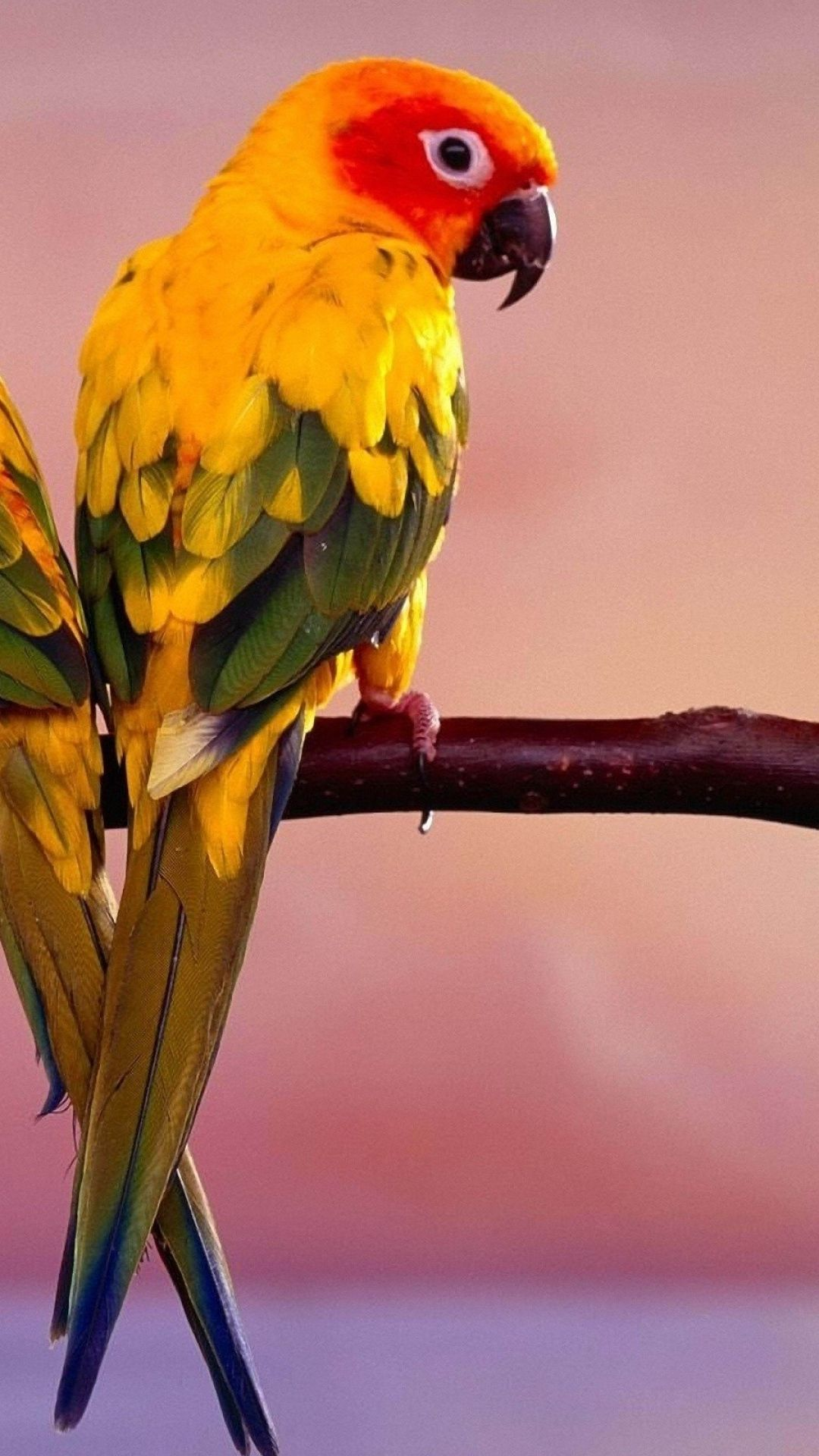 Jenday Conure from Brazil Bird pictures, Parrot image