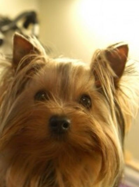 how to cut groom yorkshire terrier ears stuff for your pup rh pinterest at