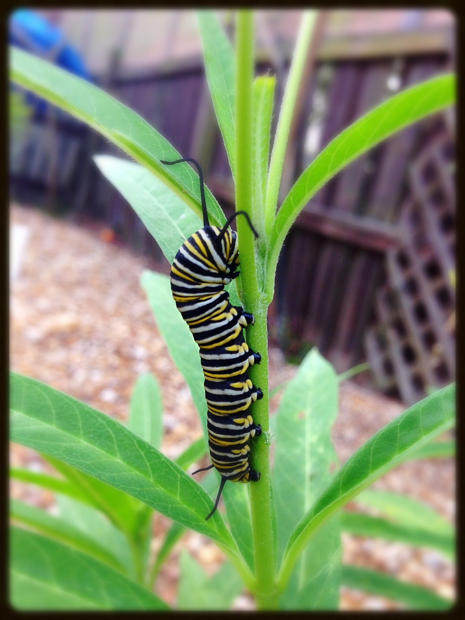 """The Monarch Butterfly lays its eggs on only one plant species, asclepias, more commonly known as milkweed, which is sold sometimes as """"butterfly weed"""" at nurseries"""