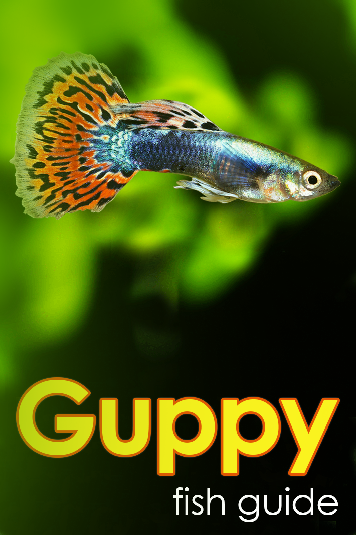 Guppies Fish Lifespan
