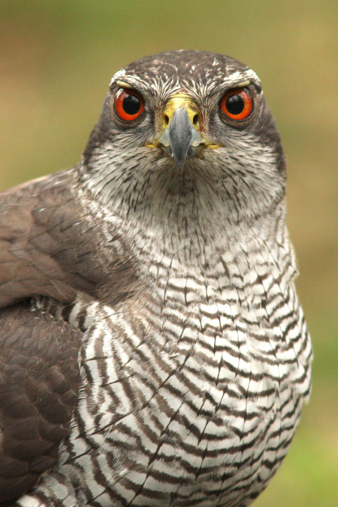 Northern Goshawk As It Matures The Northern Goshawks Eyes Darken And Change Color After The Second Year They Are Red Birds Goshawks