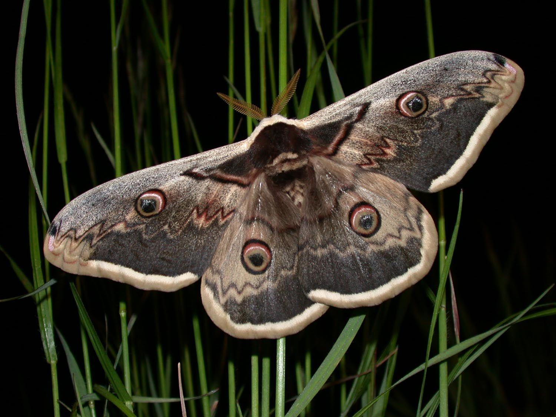 Papillon le grand paon de nuit animaux volants pinterest paon papillon et la grande - Signification papillon de nuit ...