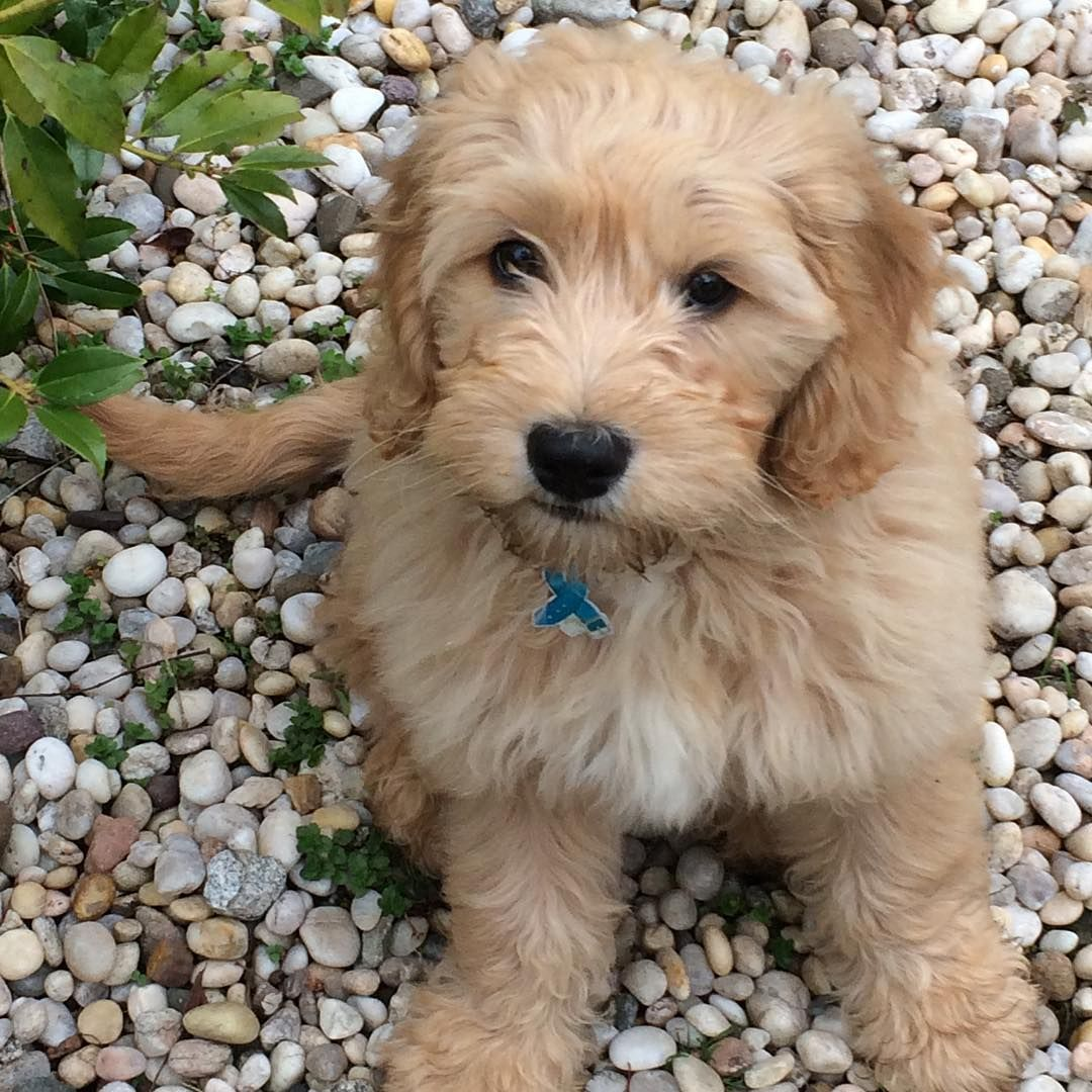A Golden Retriever Puppy Is Cute But A Goldendoodle We Re Goners There S Something About A Mix Breed Dog Hybrid Dogs Golden Retriever Dogs Golden Retriever