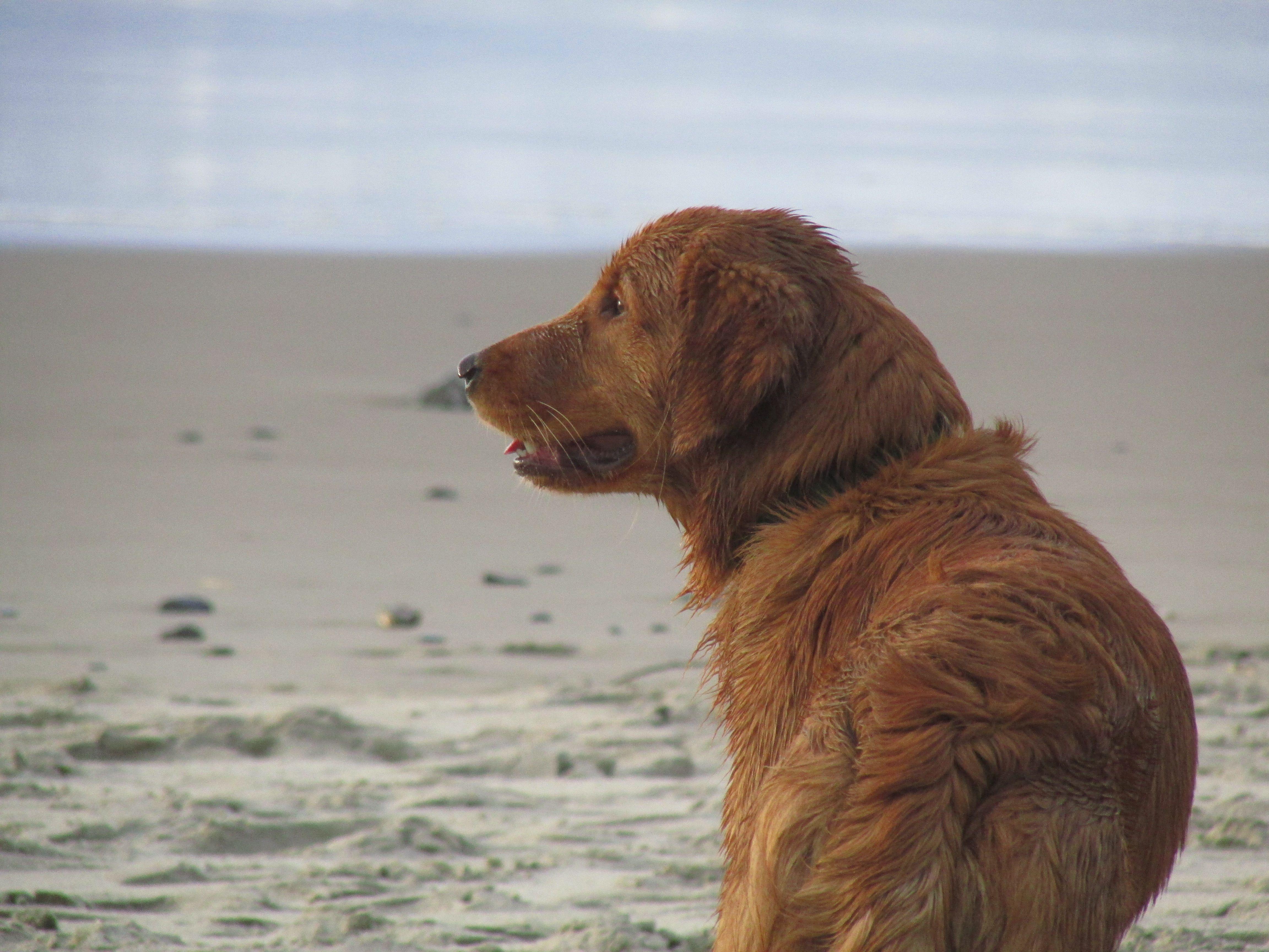 Lab Puppies Oregon Coast