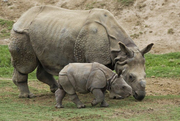 """The name rhinoceros means """"nose horn"""" and is often shortened to rhino."""