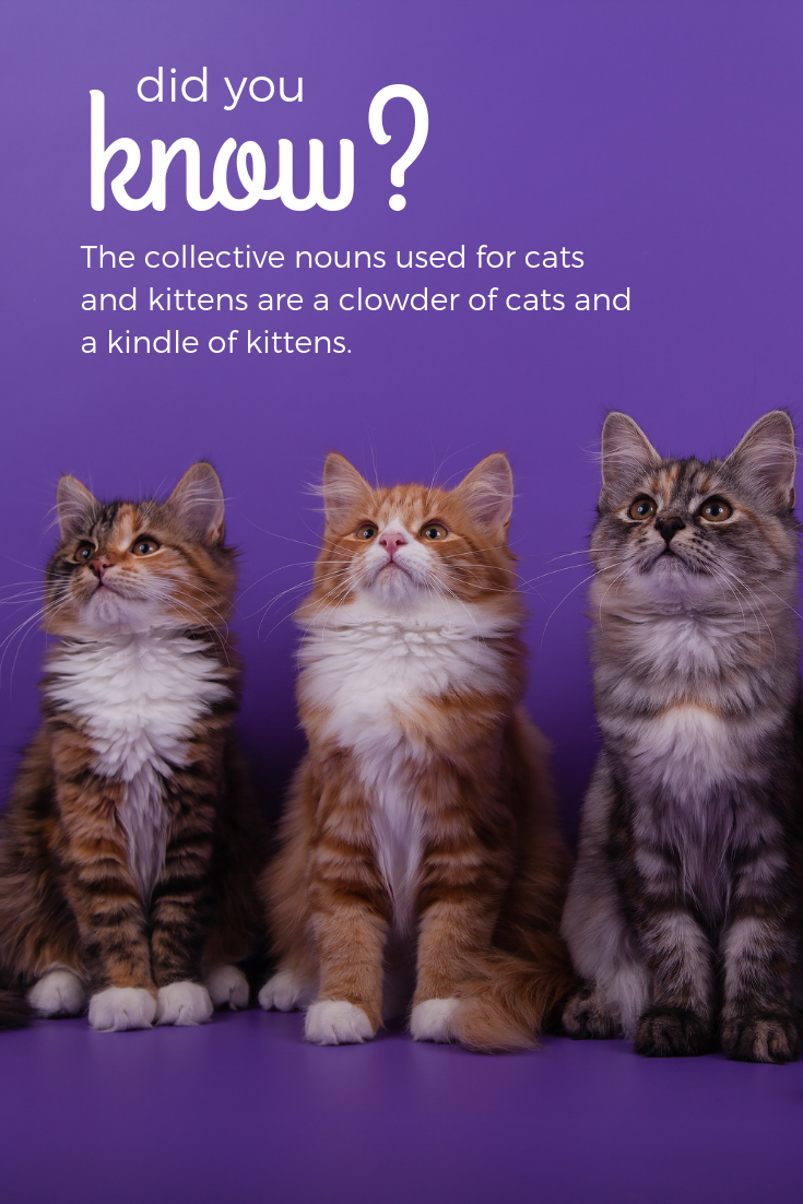Did You Know That The Collective Nouns Used For Cats And Kittens Are A Clowder Of Cats And A Kindle Of Kittens Cats Pets Cats Cat Care