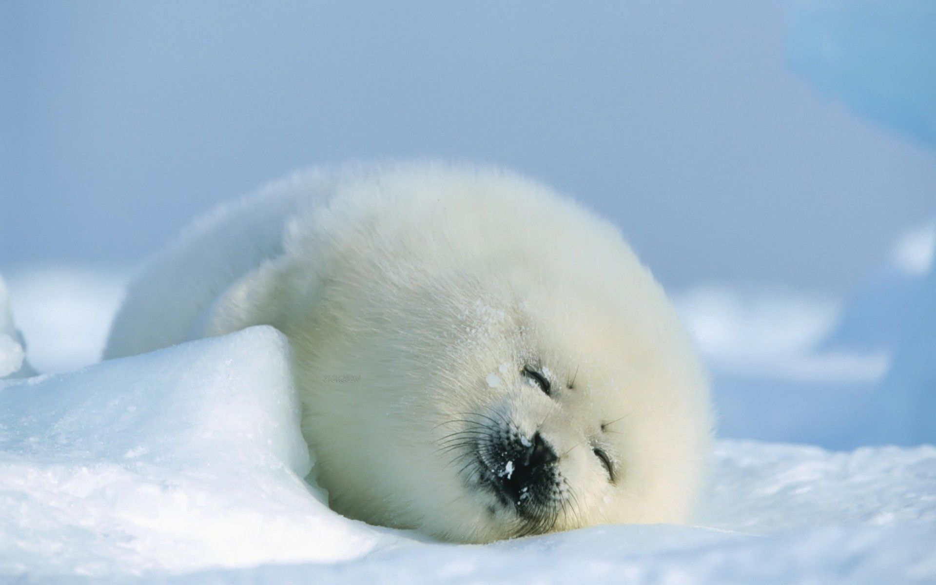 Baby Seal Wallpapers Baby Animals Seal Pup Cute Baby Animals Animals Beautiful
