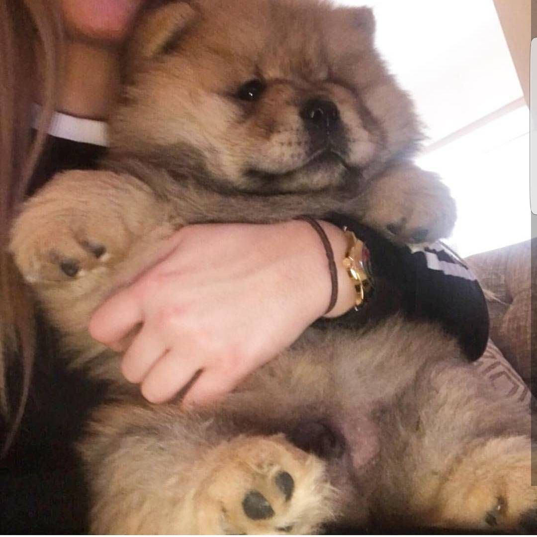 981 Curtidas 5 Comentarios Chow Chow Puppies
