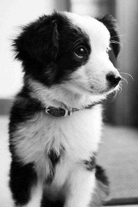 Petit Chien Noir Et Blanc : petit, chien, blanc, BLANC, SUITE, @KaufmannsPuppy, Super, Puppies,, Animals,, Animals