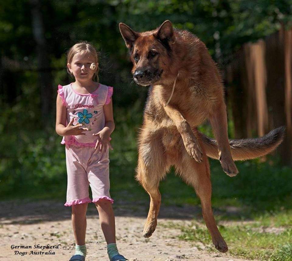 Pin by German Shepherd Dogs Australia on German Shepherds