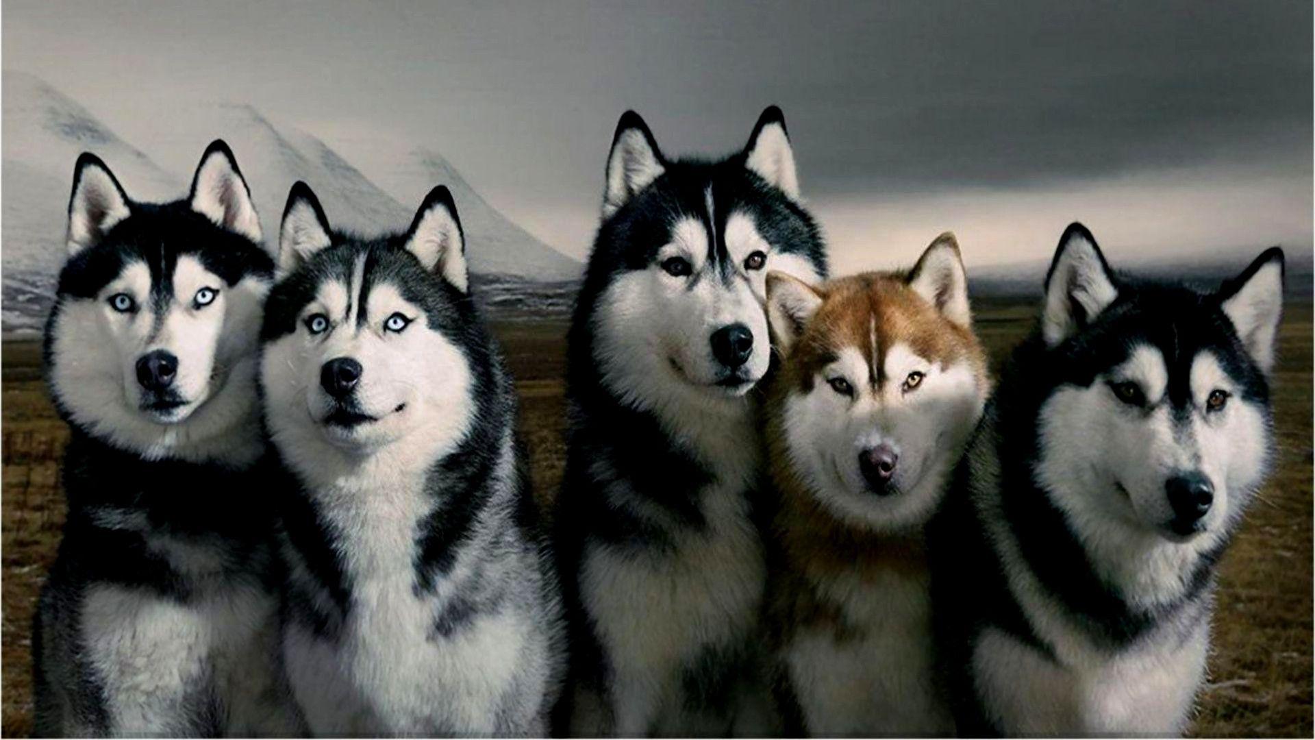 Free Husky Puppies Near Me 2021