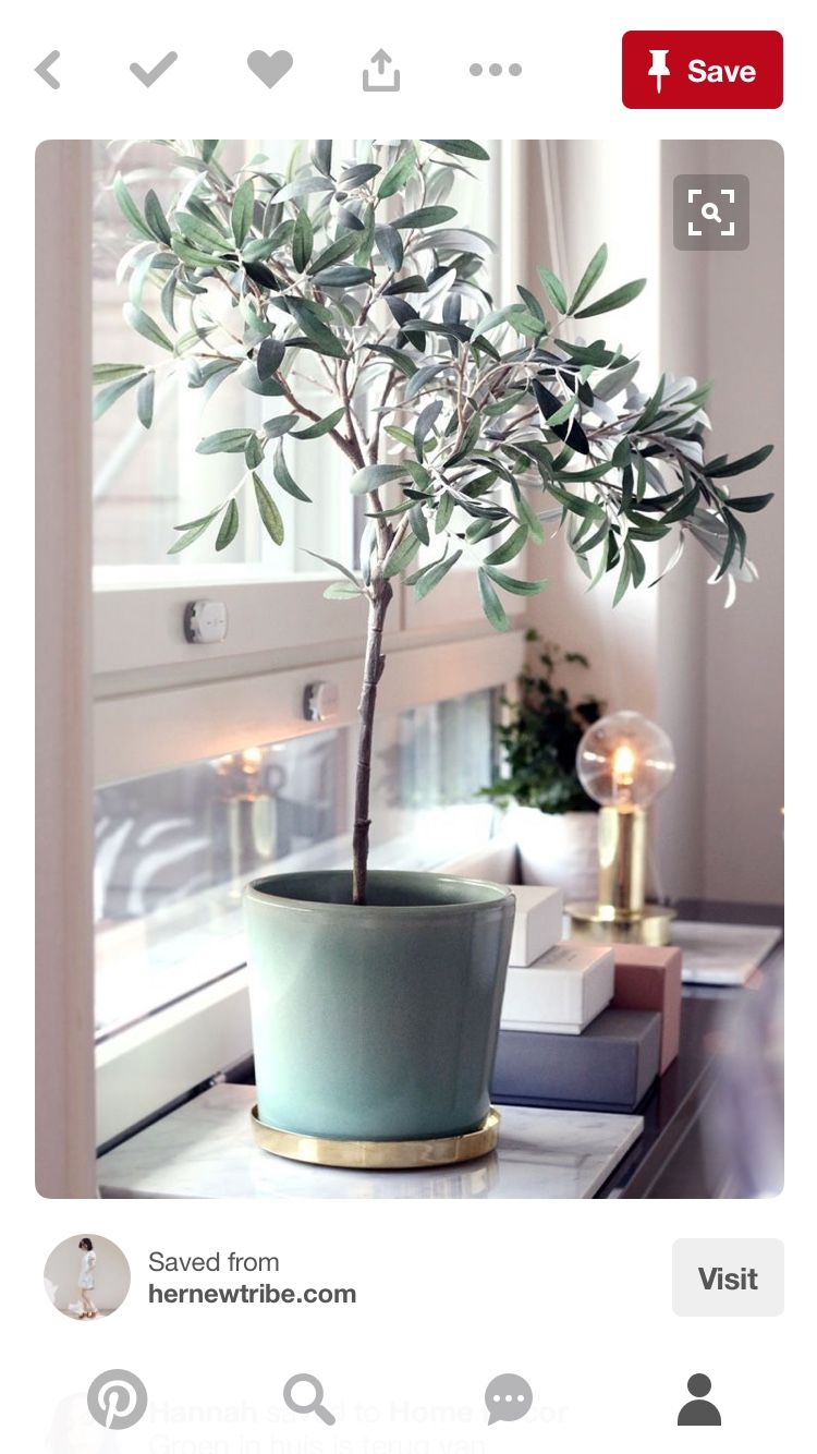 Pin By Designs By Katrina On House Plants Indoor Olive Tree Interior Plants Plants