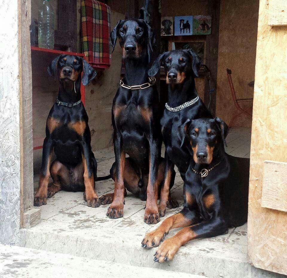 Doberman Dogs Doberman Doberman Pinscher Doberman Doberman Dogs