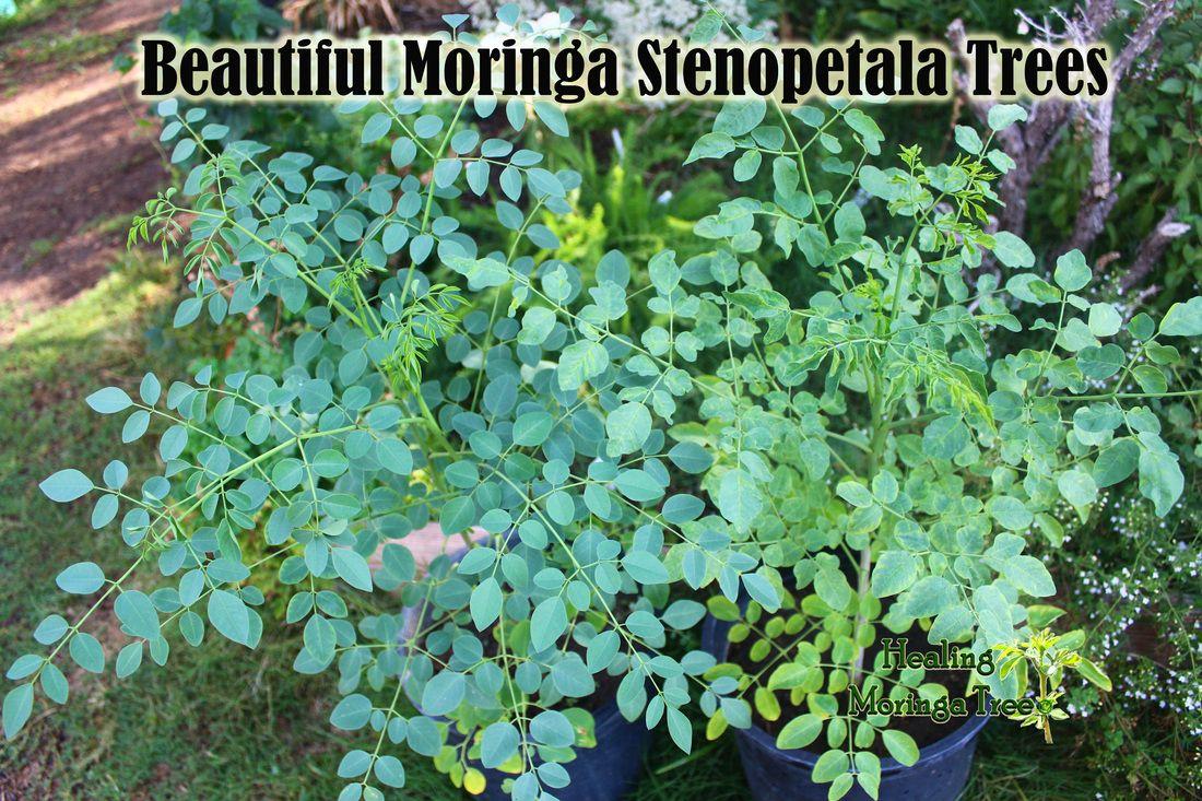 18 Science Based Benefits of Moringa Oleifera