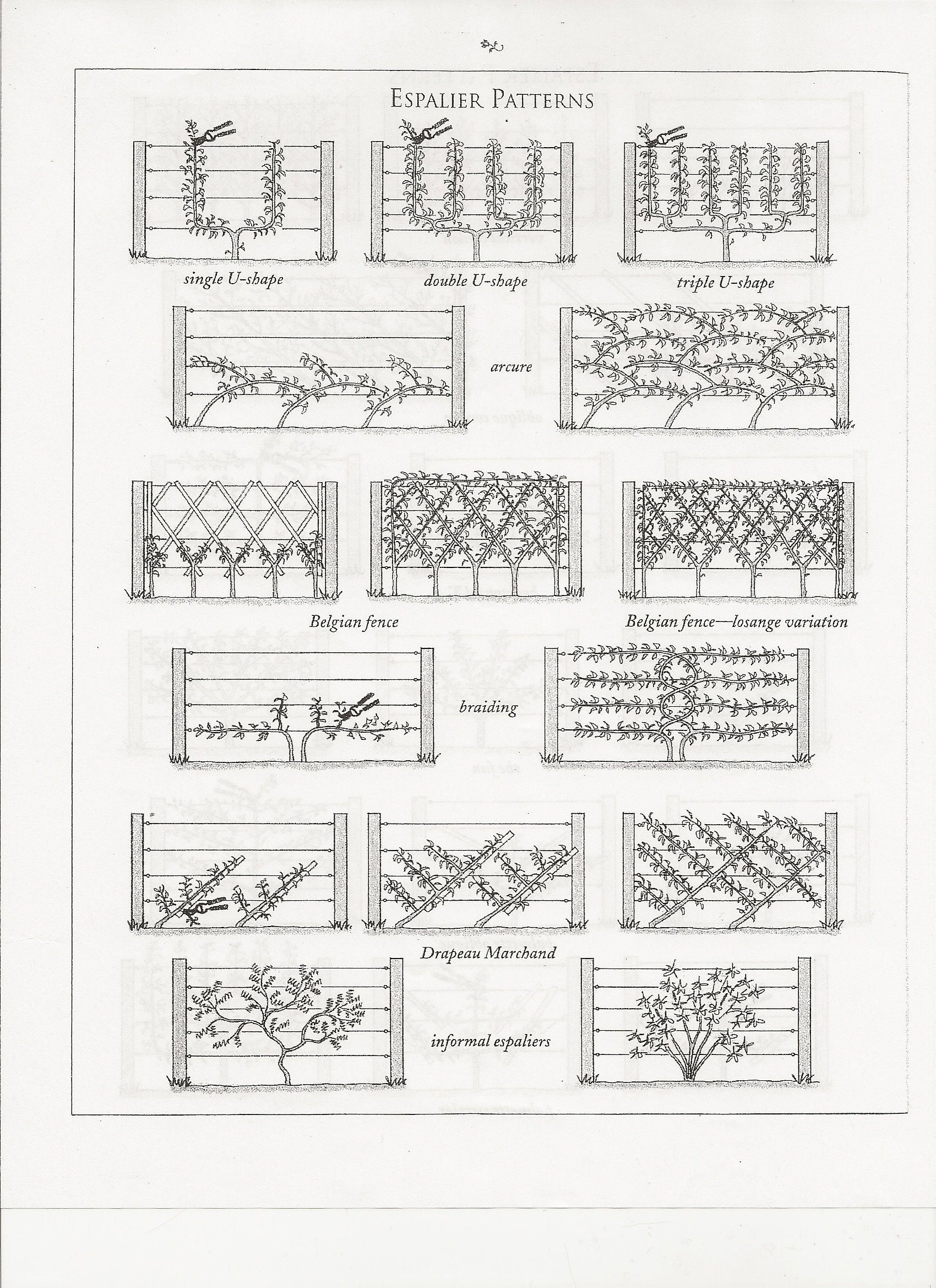 espalier patterns I saw lemon trees in a simple espalier along a