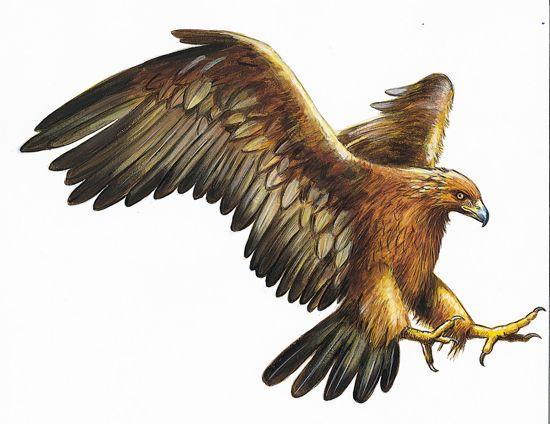 R sultat de recherche d 39 images pour aigle royal art aigle aigle royal et ailes d 39 aigle - Dessin d aigle royal ...