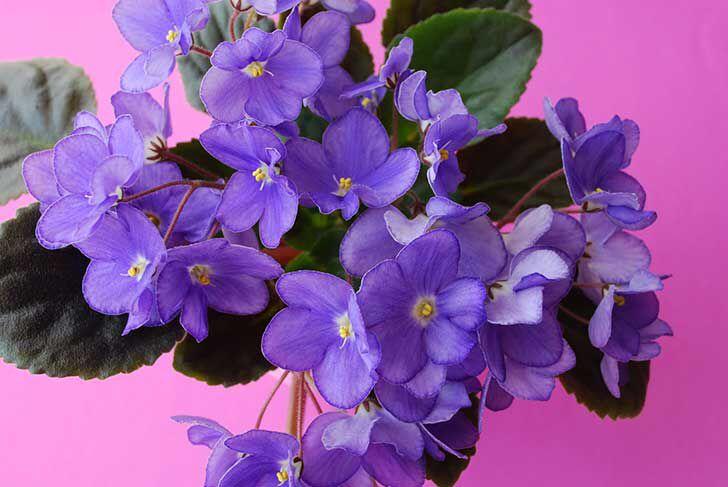 Violeta - Foto: Pinterest