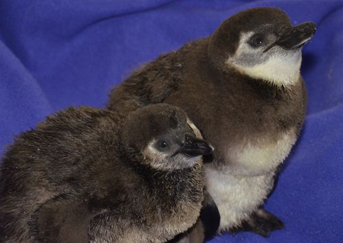 Jack And Nutmeg The African Penguins At The Maryland Zoo In Baltimore Penguins African Penguin Zoo Babies