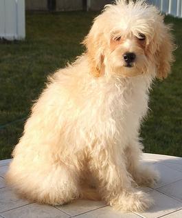 maltipoo dogs cute Pinterest