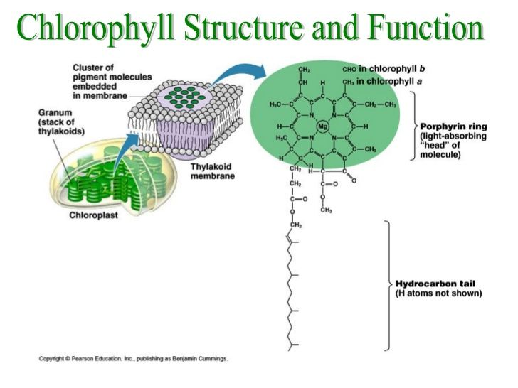 Chlorophyll structure and function book pinterest molecular biology chlorophyll structure and function ccuart Image collections