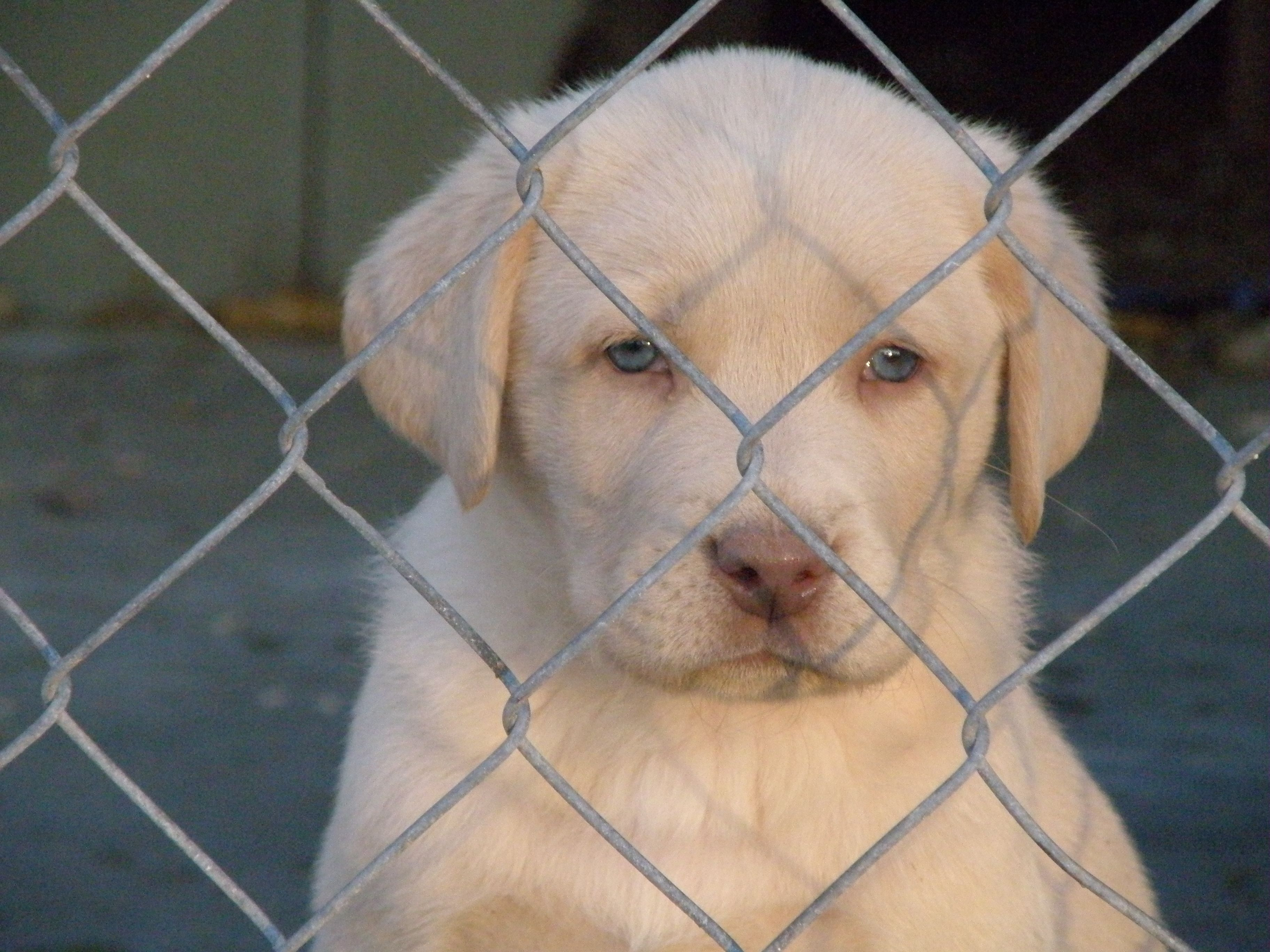 Champagne Lab Puppies For Sale Lab Puppies Labrador Retriever