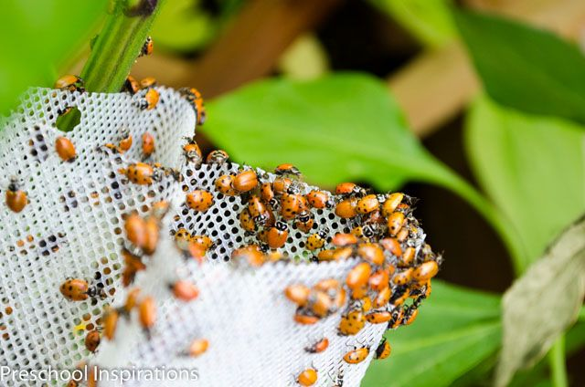 Ladybug Facts for Kids - Preschool Inspirations ...