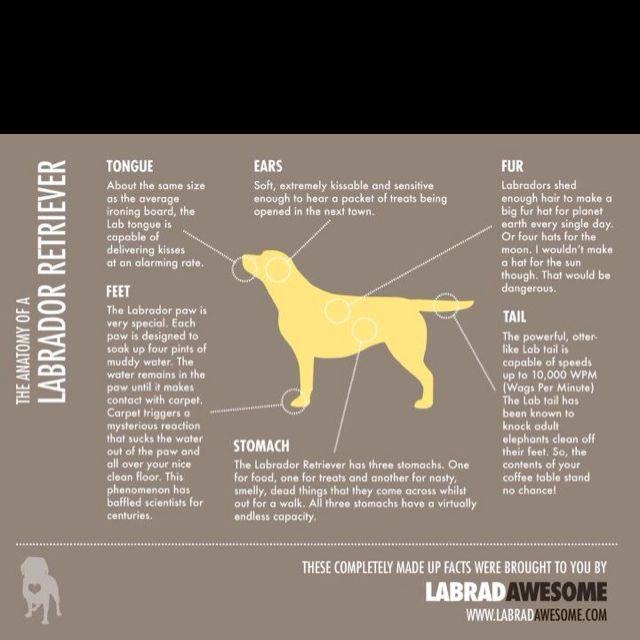 Anatomy Of The Labrador Retriever The Chocolate Labrador