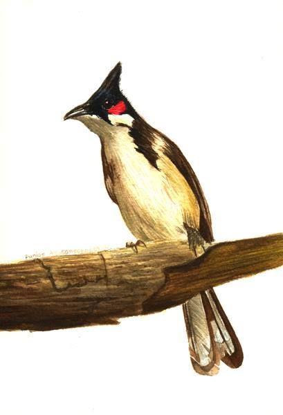 Bangkok Birds นกกร งเทพ นกห วขวานใหญ หงอนเหล อง Greater Yellownape นก
