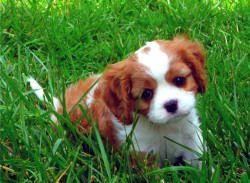 Hill Cavaliers Near Greenville Sc Cute Animals Cute Puppies