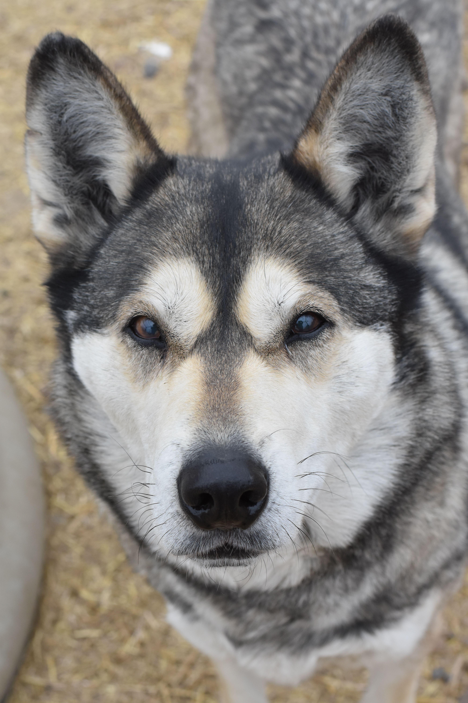 Alaskan Malamute Alaskan malamute, Malamute dog, Dogs