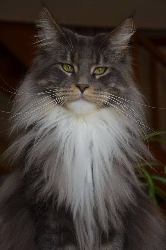 Pin On Long Haired Cats