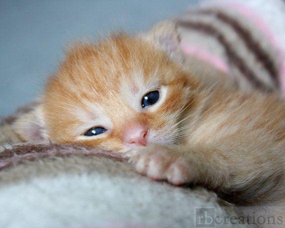 Sweet Newborn Orange Kitten Cat Photograph Fine Art By Rbcreation