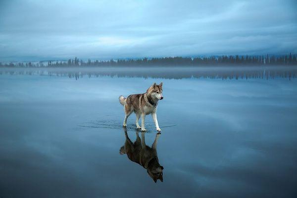 這位攝影師在冰凍湖面上拍攝的照片讓網友驚嘆:「這是哈士奇在童話故事裡嗎?」