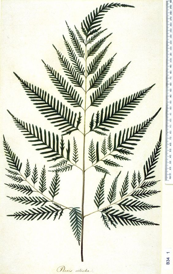 Botanical illustration pteridium aquilinum remember that for Where can you get fabric
