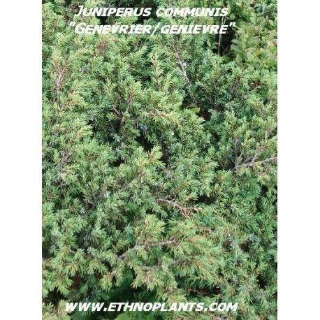 Genièvre graines de Genévrier à planter (Juniperus communis) | Planter des graines, Graine, Cultiver