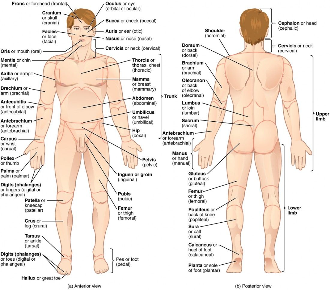 This illustration shows an anterior and posterior view of the human ...
