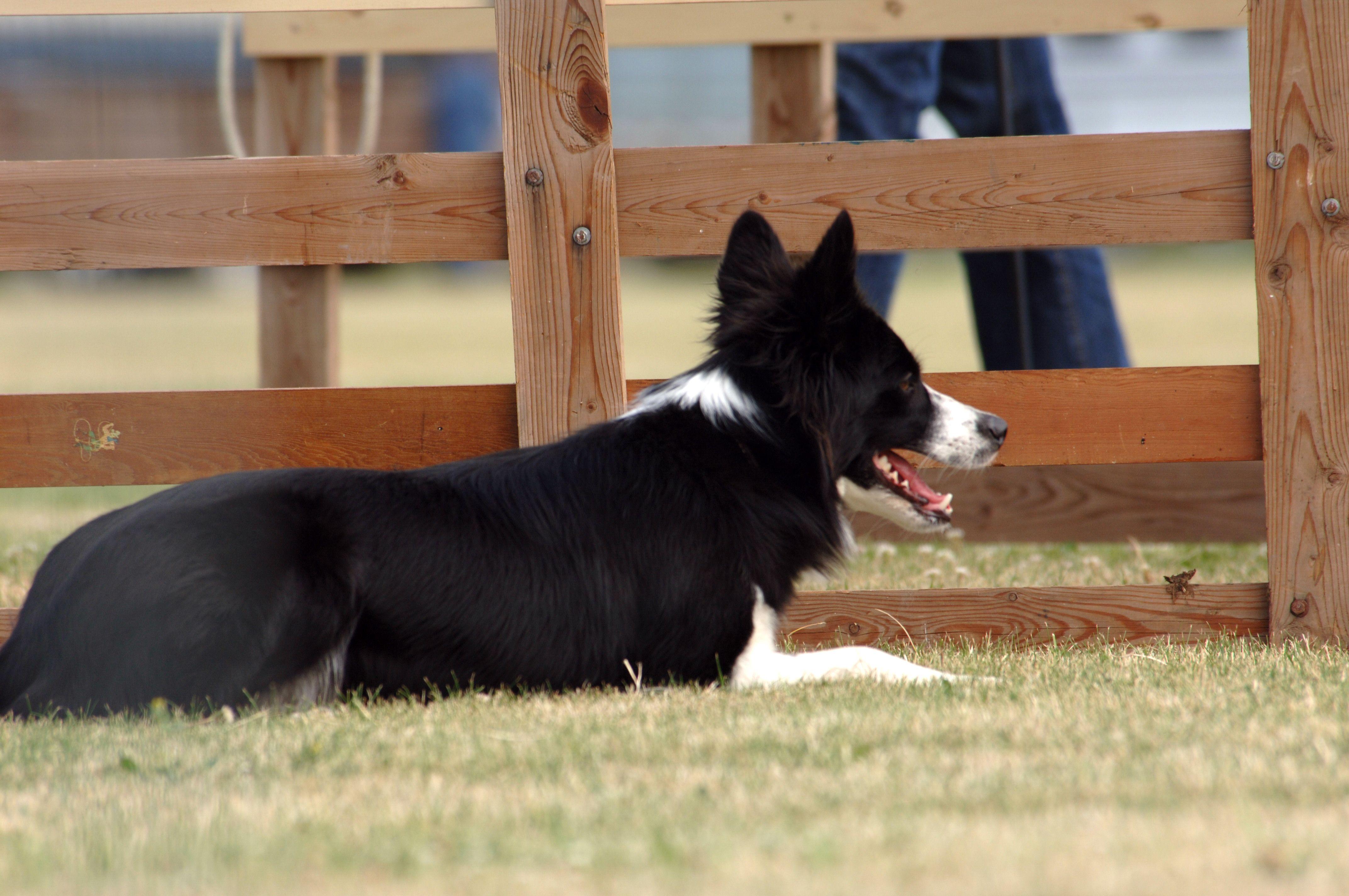 Athena Oregon Sheep Dog Trials Border Collie Border Collie